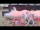 OPEN ROTTERDAM; Space Pigs vieren kerst op het binnenplein van Museum Boijmans van Beuningen
